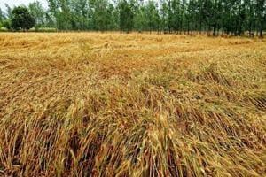 Nainital, USNagar farmers seek relief against wheat crop loss