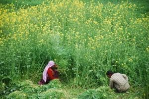 Rajasthan government launches co-op scheme for buying mustard, gram on...