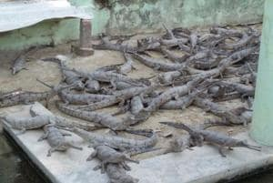 The gharial is threatened by the loss of its riverine habitat, depletion of fishes, and entanglement in fishing nets.