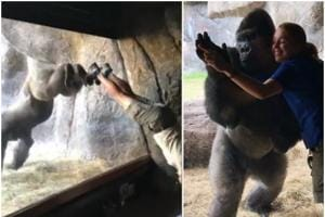 Viral video shows gorilla doing handstands with trainer in Florida zoo