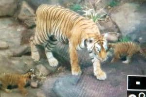 Facing space crunch, Ranthambore tigers move to new areas
