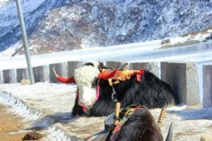 Yaks will be brought from Shimla for tourist attraction at Badrinath and Auli in Chamoli — both situated in higher reaches and suitable for the mountain animals.