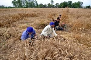 As the recent rains led to increase in moisture content of the wheat crop, Jalandhar grain markets have witnessed less arrival of crop even after three days of Baisakhi.