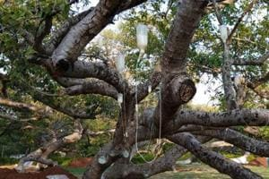 Telangana's 700-year-old banyan tree gets saline drip for survival