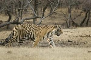 Two tigers found dead at Ranthambore, officials suspect territorial...