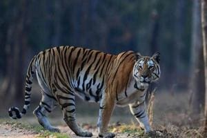 Villagers kill tiger in Pilibhit Reserve