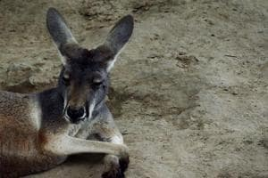 Brick-throwing China zoo-goers kill kangaroo, injure another
