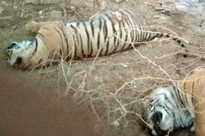 Ranthambore tiger cubs ate bull before dying, poisoning suspected