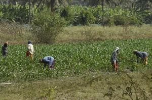 Why farmer suicides have spiked in Karnataka's sugar belt