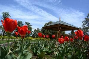 India's third tulip garden becomes attraction for tourists in Shimla