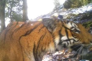 A tiger that was trapped by a camera in Askot Wildlife Sanctuary at an altitude of 12,000 ft in Uttarakhand in 2016.