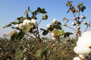 It took the university 10 years to develop the variety with resistance against bollworm.