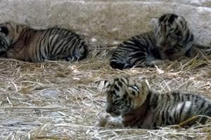 Tiger cubs born at Bhagwan Birsa Biological Park in Ranchi on Sunday.