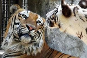 New Royal Babies: White Tigress and Royal Bengal Tiger get busy at Delhi...