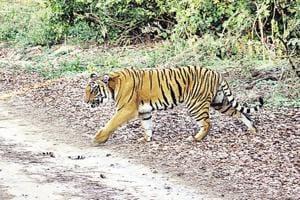 A tiger crossing a road at Corbett Tiger Reserve in Ramnagar.
