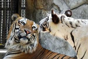 A White Bengal Tiger and Tigress have been kept together for a breeding programme in the Delhi Zoo.
