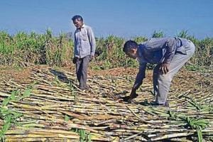 Though the Union government has announced financial assistance of ₹5.50 per quintal for cane crushed by sugar mills in the ongoing season, the private mills seeking more assistance.