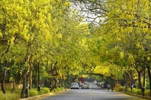 Amaltas, also known as the golden shower trees, seen in full bloom in Delhi during the summers.
