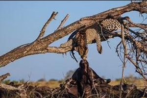 Leopard and buffalo's lip-to-lip moment is going viral (Nat Geo)