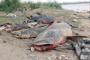 Dead fishes taken out from Beas river after molasses from a sugar factory leaked into the river on Thursday.