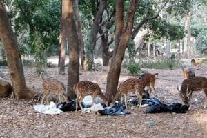 On May 12, a herd of deer spotted the garbage bags near the SGNP office and started feeding on it.