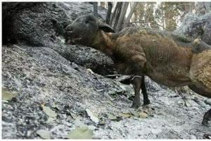 A wild animal with burn injuries in one of the forest divisions under Garhwal circle, on Tuesday.