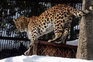 The caged leopard is being sent to Chiryapur leopard rescue centre at Haridwar, says an official.