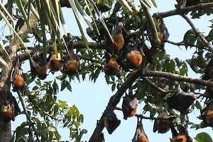 Public health experts were wrong in their prediction that bats were the source of Nipah virus infection in Kerala.