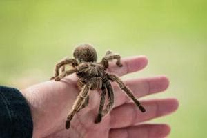 Dozens of people across several districts of West Bengal have reported suspected tarantula bites.