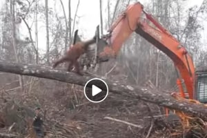 Orangutan tries to fight off bulldozer to save its forest (Facebook)