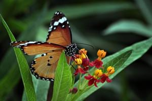 A plain tiger butterfly soaks the nectar from a flower at Thousand Shades Butterfly Park in Gurugram.