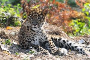 In last 13 years, 45 leopards have been killed after being declared man eaters.