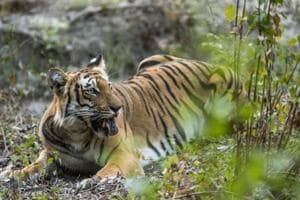 Tigress, after having licked dirt with her tongue.