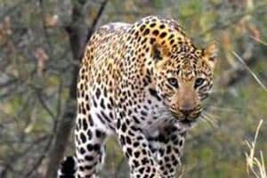 This is the second attack by a leopard in Valparai region since Thursday.