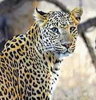 Senior forest officials said the leopard could have come from the nearby forest in search of water.