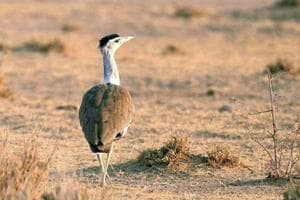 The decision to set up Great Indian Bustard breeding and hatchery centres in Rajasthan was taken by the central government in 2016.