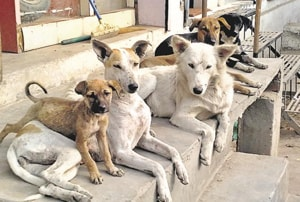 Dogs from Patiala are now adopted in every continent.