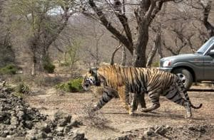 When the Mukundra tiger reserve was repopulated with its first tiger, the NTCA jumped in again to give notice of both the way it was done and the spot it was done in. They had little understanding of either the tiger reserve or the needs of the tiger