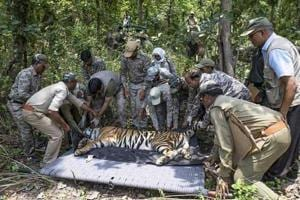 Odisha forest officials tranquilised a tiger to transport it from Madhya Pradesh to Odisha.