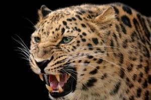 The leopard pounced on the boy on Saturday evening and half-eaten body of the boy was found in a forest on Sunday.
