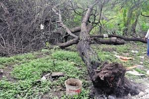 A total of eight big trees have been cut at Dr Salim Ali bird sanctuary by unidentified persons.