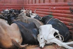 The mob freed over two dozen cattle loaded in the truck and set the vehicle ablaze following which traffic on the Jammu-Srinagar national highway remained suspended for nearly two hours.