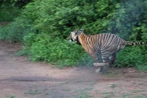 The tigress was seen on cameras trap with injuries on her nose and ear, which seemed to have occurred in a territorial fight, said Neha Verma, DFO, Ramnagar