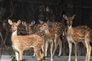File photo of a group of spotted deer at Delhi Zoo. The zoo's animal exchange programme will help clear its excess stock of deer and antelopes. C