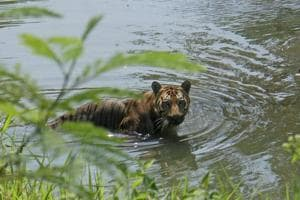 12 fishermen held in Sundarbans for harassing tiger, prodding it with bamboo poles