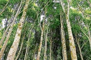 The agarwood tree (Aquilaria malaccensis), whose resin extract is widely used in perfumes and incense, is one step away from being declared extinct in the wild by the International Union for Conservation of Nature (IUCN).