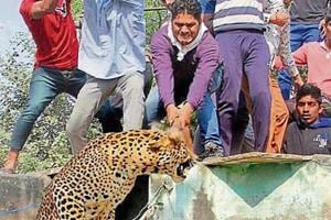 People attack a leopard that had entered a residential area in Mandawar village near Gurgaon in 2016.