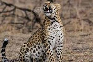 """In India leopard trade can procure between Rs 5 lakh to Rs 10 lakh while, it can fetch triple that amount in the international market."""""""