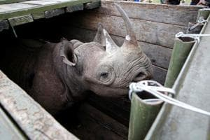 The black rhinos were moved from Nairobi and Lake Nakuru national parks to Tsavo East last month.