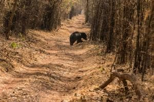 Forests in the Chambal region are home to sloth bears, hyenas and leopards.